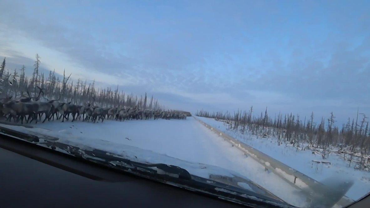 Un rebaño de 3.000 renos corta una carretera en Siberia durante 20 minutos