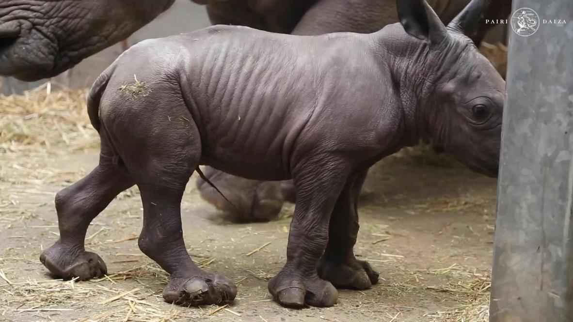 Долгожданное появление. Детеныш белого носорога родился в бельгийском зоопарке