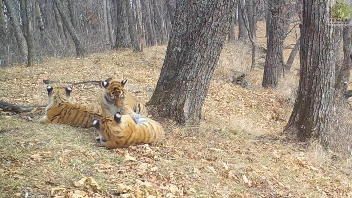 """Россия: Пока мама была на охоте амурские тигрята угодили в """"фотоловушку"""""""