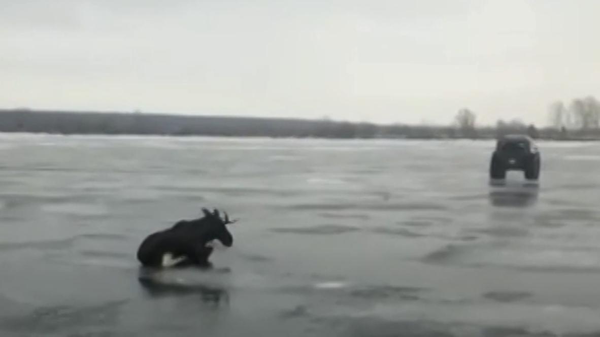 Все прошло гладко. Провалившегося под воду лося по льду отбуксировали на берег