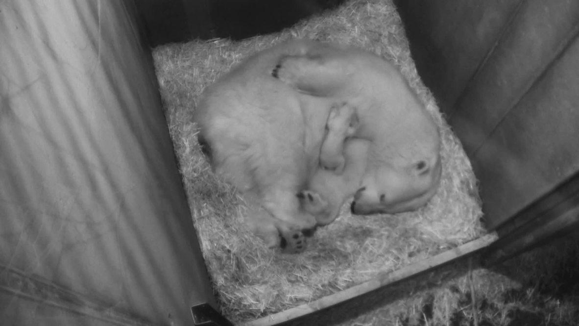 Vienna zoo celebrates one month birthday for polar bear cub