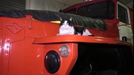 Усатый талисман. Спасенный кот Гидрант уже год живет в пожарной части Новосибирска