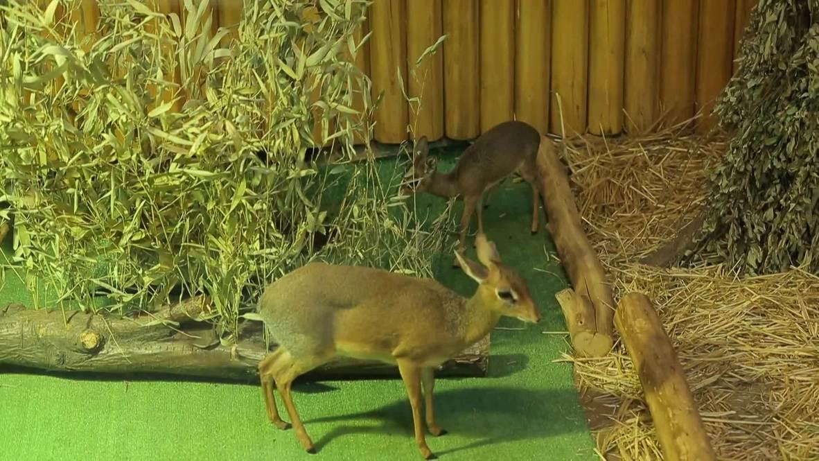 Moscow Zoo welcomes tiny dik-dik antelope
