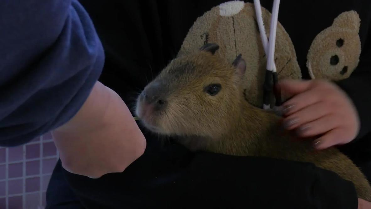 China: Una cafetería en Pekín te permite pasar el rato junto a un adorable capibara