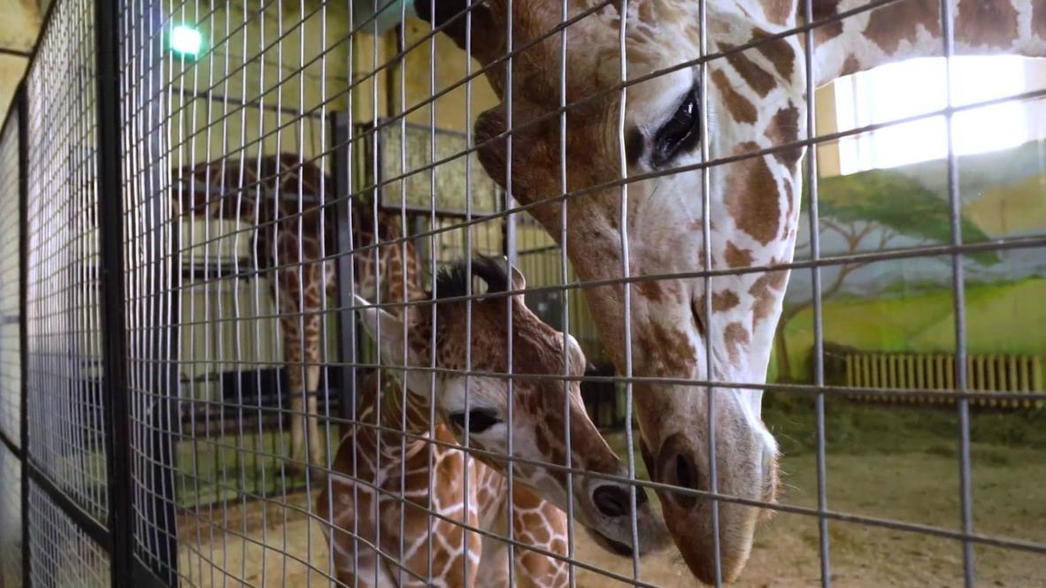 Поздравляем, у вас жираф! В калининградском зоопарке родился новый питомец