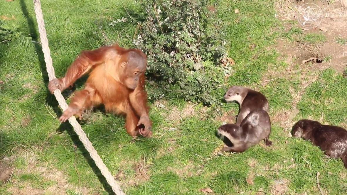 Дружить семьями. В бельгийском зоопарке детеныш орангутанга резвится с соседями-выдрами