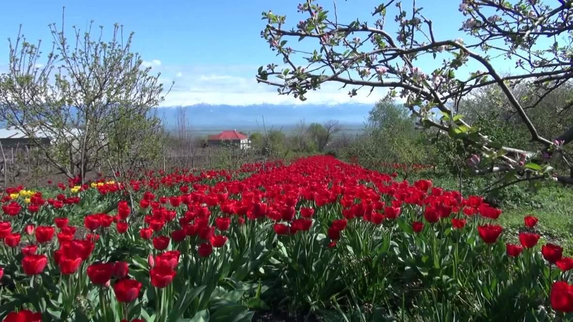 Дедушке - помощь, врачам - цветы. Активисты из Тбилиси подарили медикам тюльпаны, спасая дело пожилого садовника