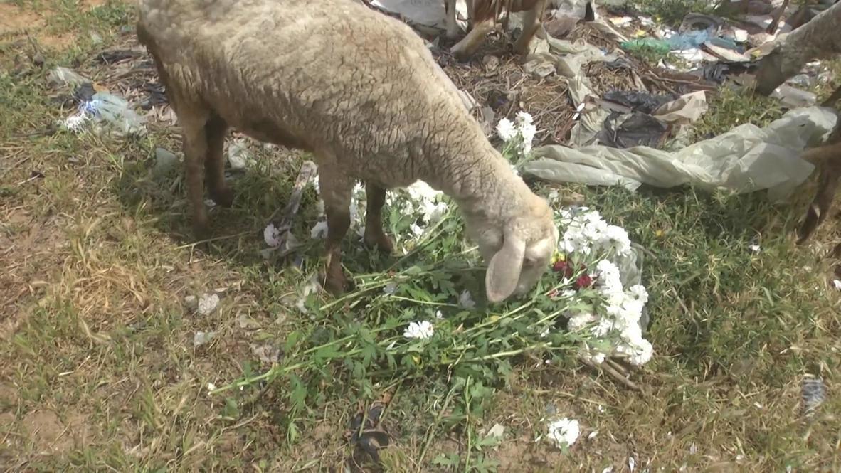 دولة فلسطين: مزارعو غزة يقدمون الزهور طعاما للمواشي بسبب كورونا