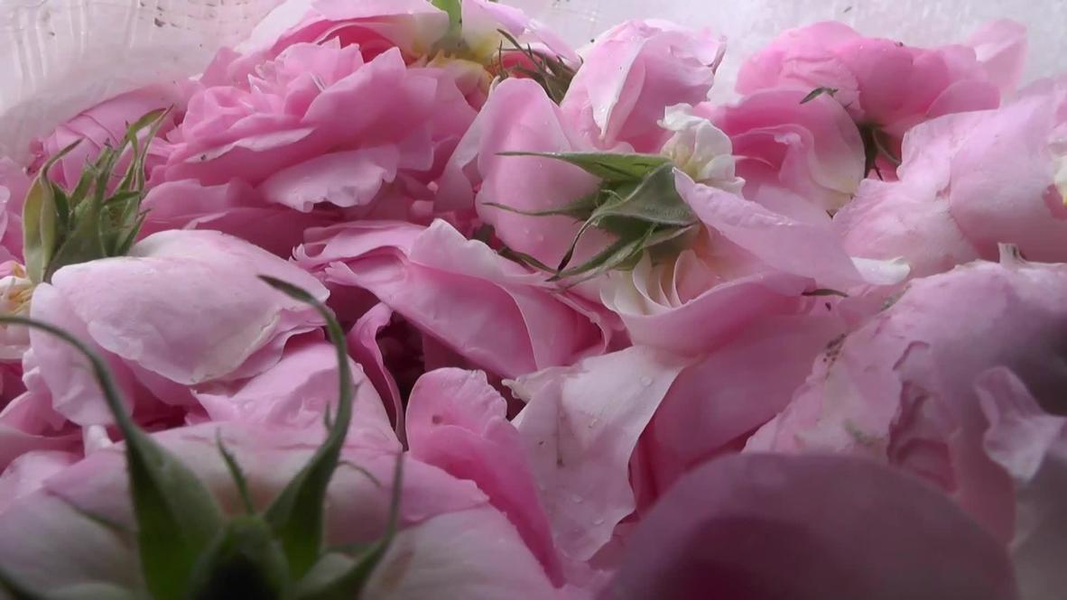 Россия: На самом большом поле чайной розы в стране начали собирать урожай