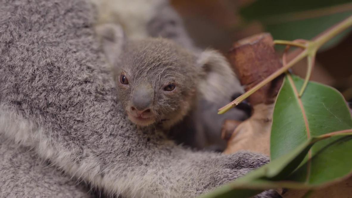Австралия: В Хеленсбурге малышка коала впервые выглянула из маминой сумки и завоевала тысячи сердец по всему миру
