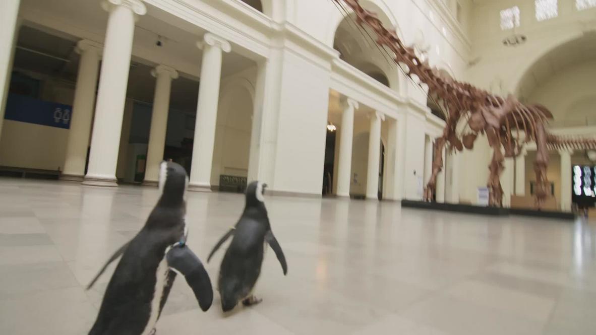 Пингвины Иззи и Дарвин посетили чикагский музей естественной истории перед его официальным открытием