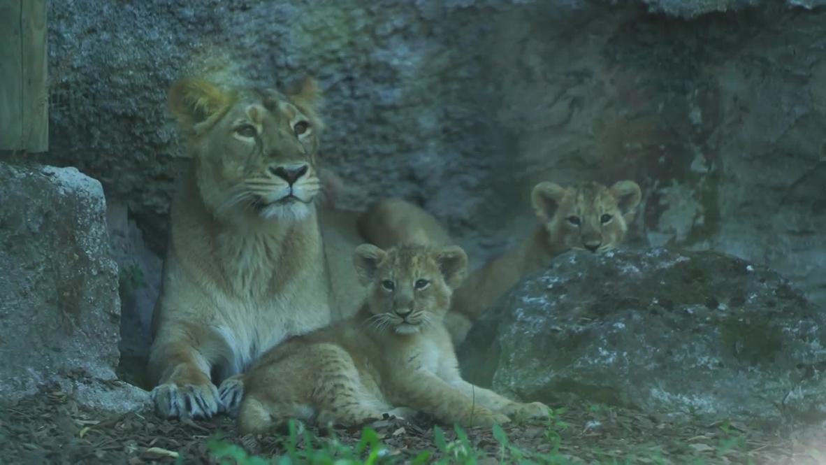 Italia: Cachorros león en peligro de extinción son presentados en el zoológico de Roma