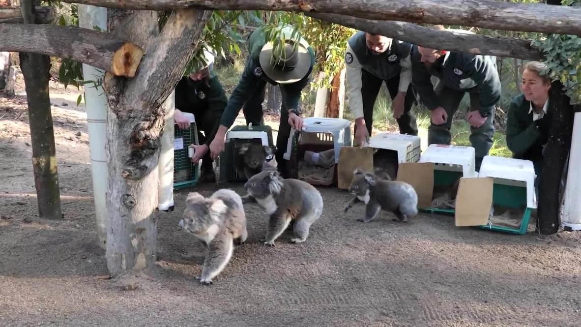 Дом, милый дом. Австралийские коалы возвращаются в природу после лесных пожаров