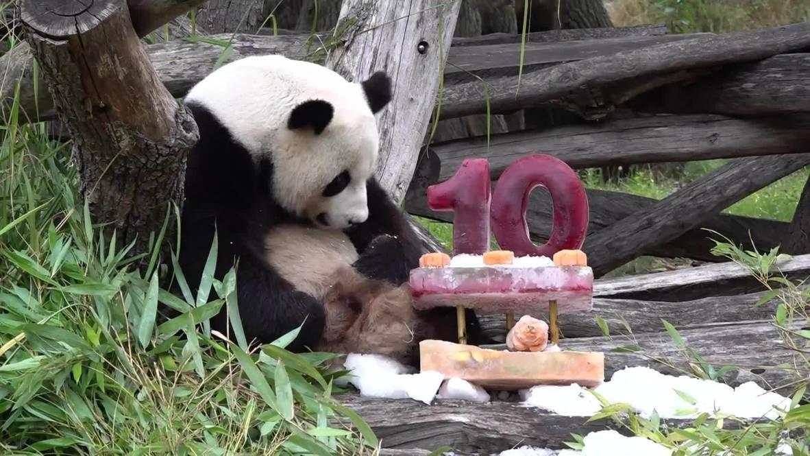 Panda Jiao Qing celebrates 10th birthday with 'cake' at Berlin Zoo