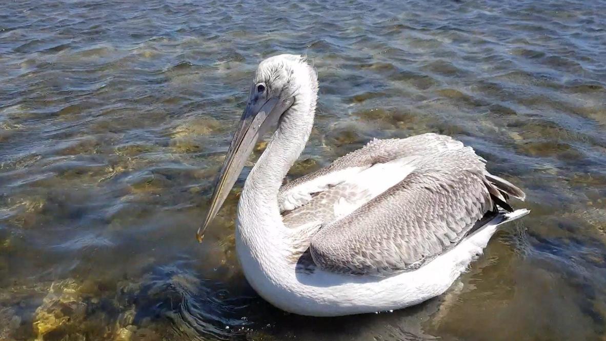 Россия: Спасенного пеликана выпустили на волю в Краснодарском крае