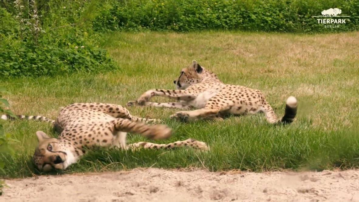 Berlin's Tierpark Zoo welcomes cheetah brothers Gambela and Manova