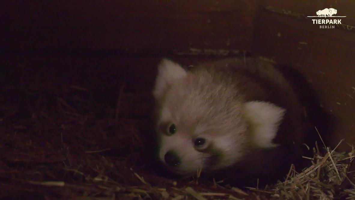 Alemania: El zoológico de Berlín da la bienvenida a la nueva cría de panda rojo