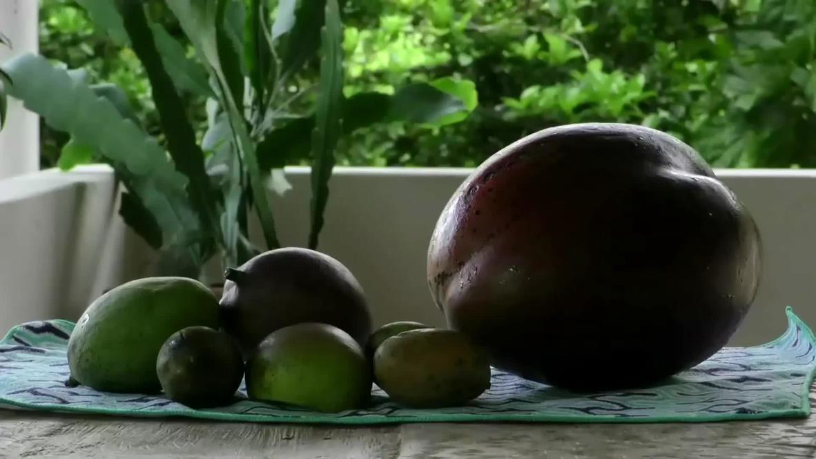 Colombia: Encuentran el mango considerado más grande del mundo en Guayatá