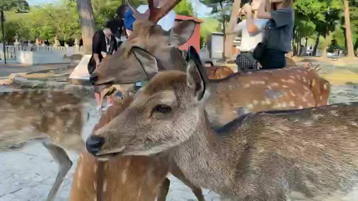 Место встречи изменить нельзя. Ежегодный феномен вновь собрал оленей в японском парке Нара