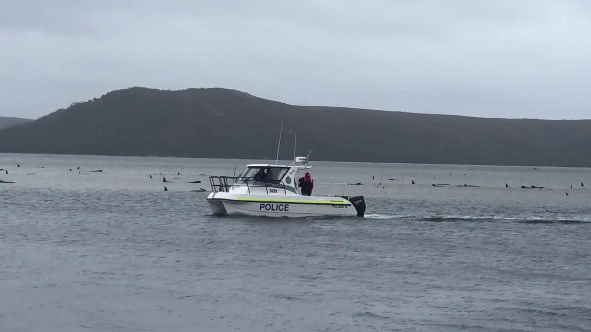 أستراليا: تواصل جهود إنقاذ مئات الحيتان العالقة قبالة سواحل تسمانيا
