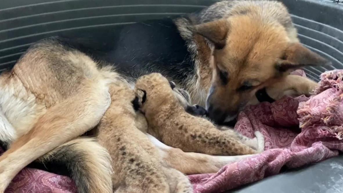 Pastor alemán se convierte en madre adoptiva de cachorros de león