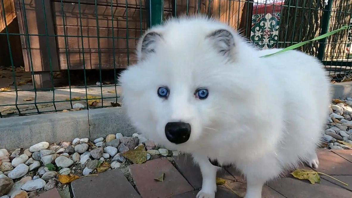 Он вам не песец. В Калининградской области енотовидная собака-альбинос охраняет птиц в частном зоопарке