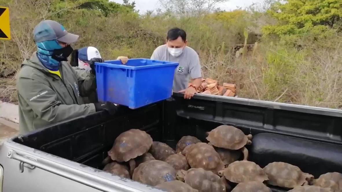 Ecuador: 36 Galapagos giant tortoises reintroduced into the wild