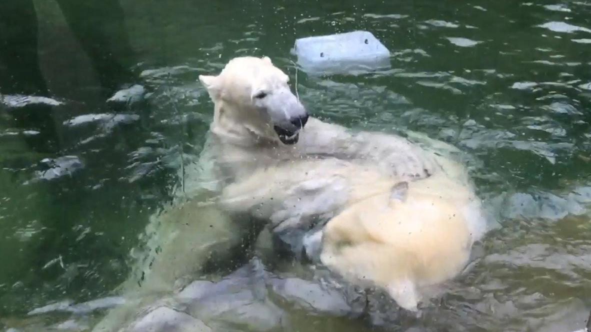 Alemania: Osas polares son presentados al público en el zoológico de Múnich