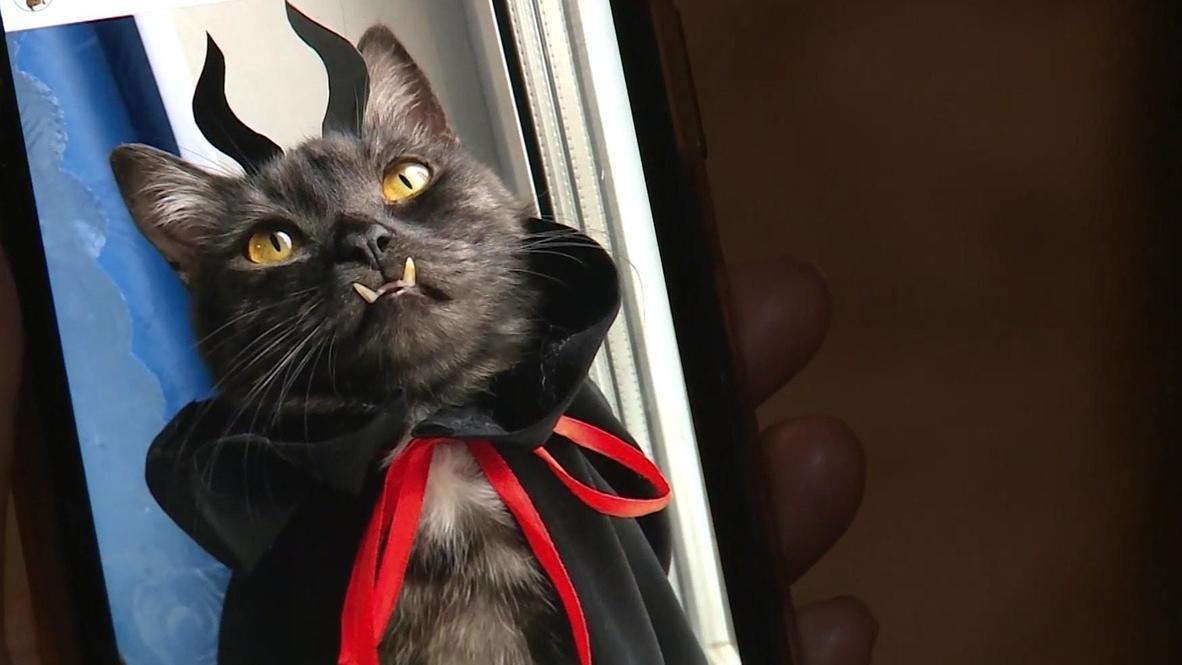 """Este gato """"vampiro"""" con una dentadura muy inusual participa en obras benéficas"""