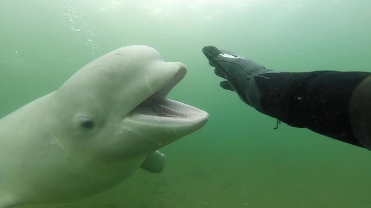 لقاء ودي يجمع غواصا روسيا بحوت أبيض قبالة جزيرة بوبوف
