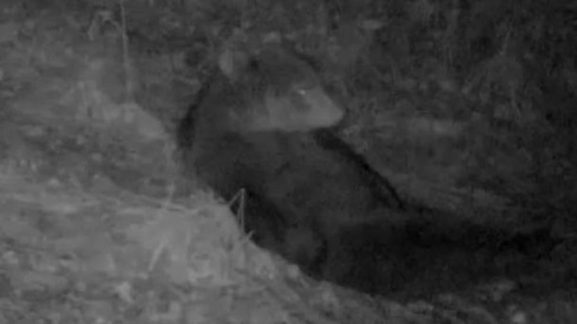 Rusia: Oso pardo es grabado en la noche mientras descansa antes de hibernar