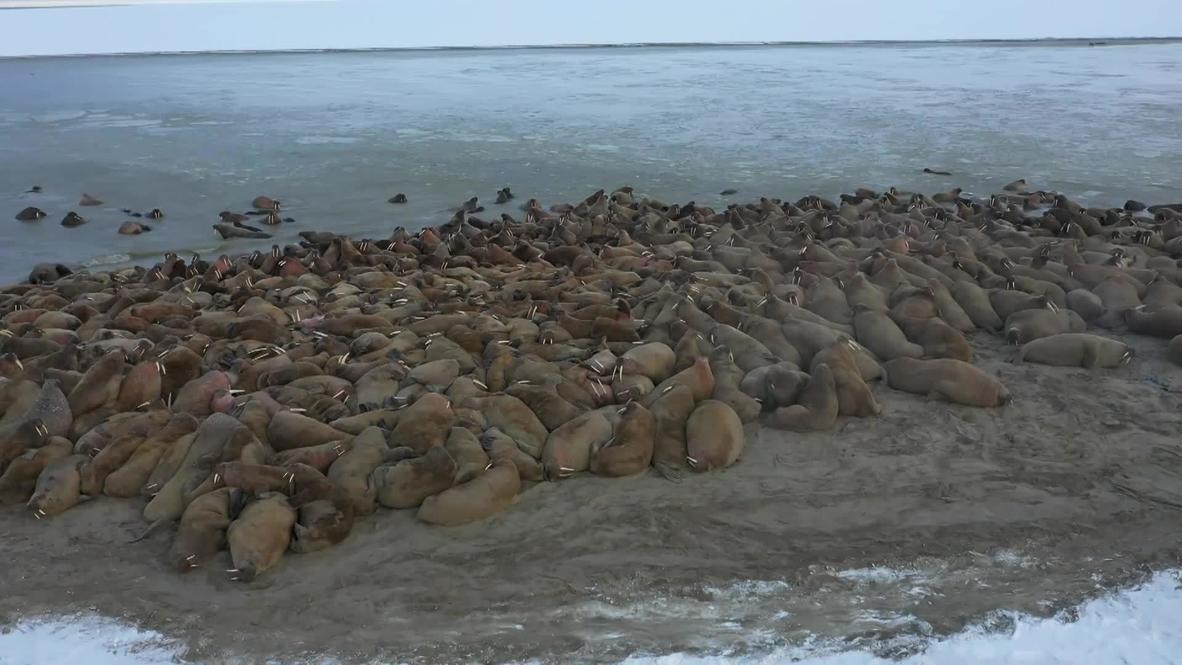 Россия: Ученые исследуют крупнейшее в мире лежбище моржей на Ямале