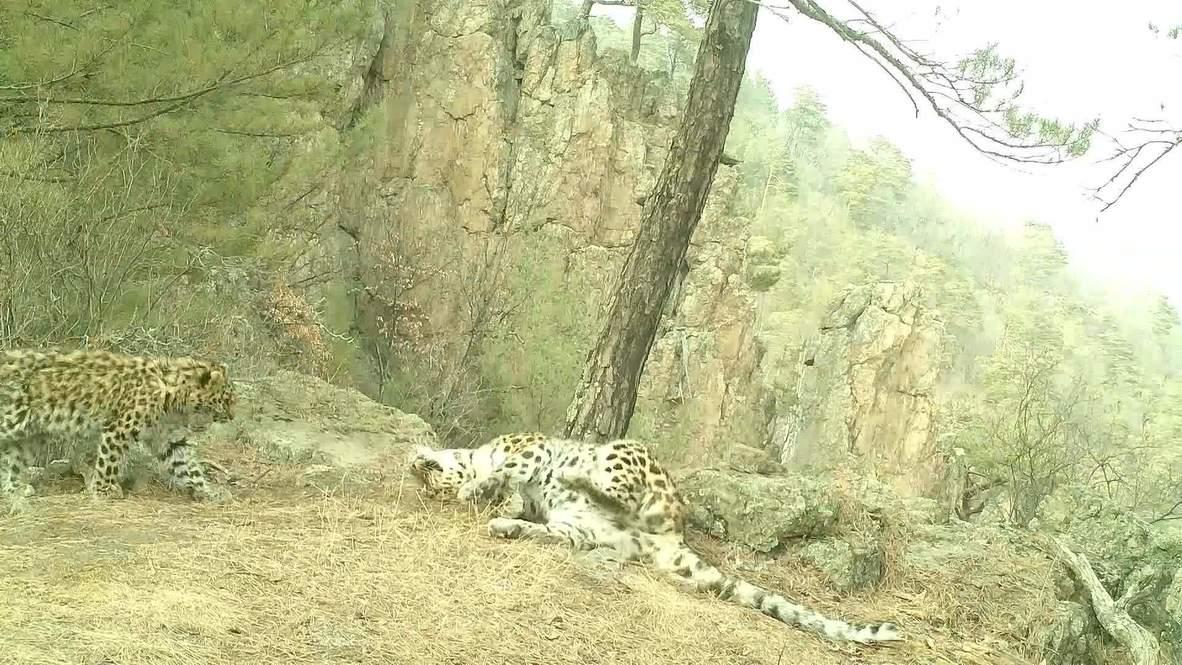 Иди поцелую. На видео попали объятия самки леопарда и ее котенка