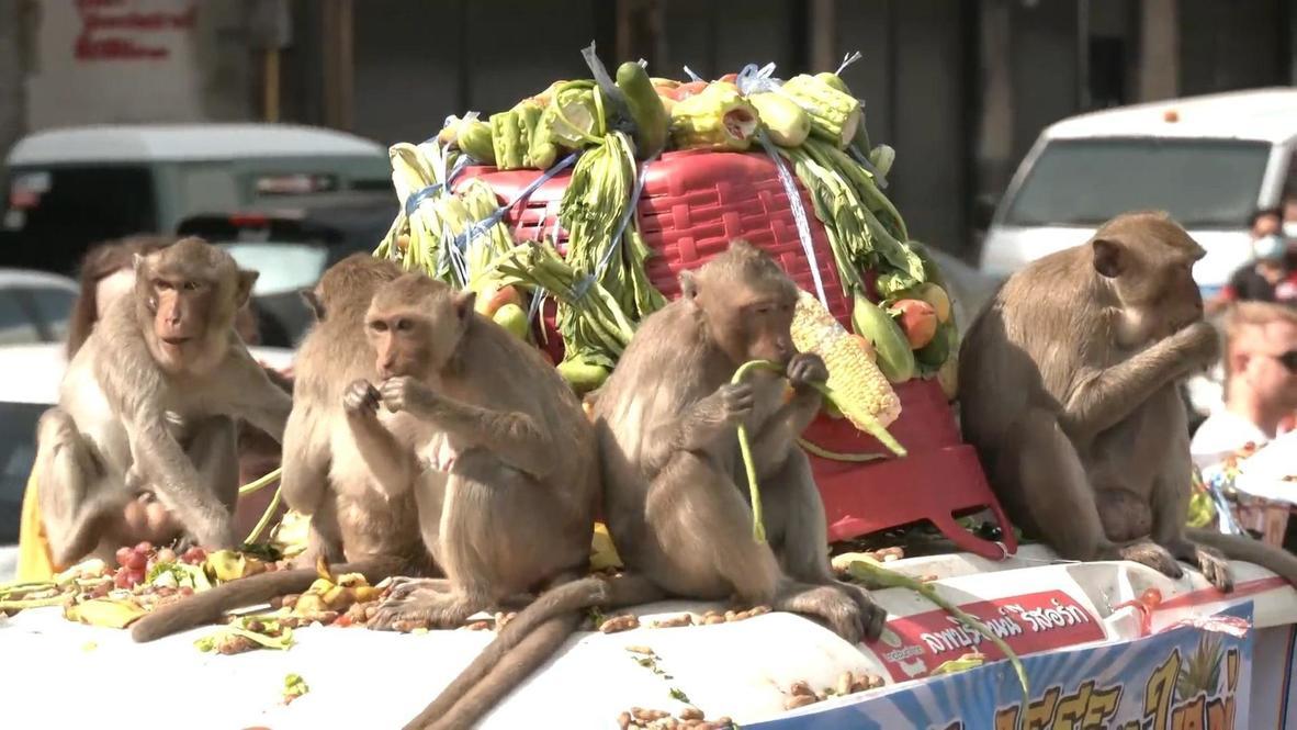 Tailandia: Hordas de primates hambrientos disfrutan de un grandioso banquete en el festival de los monos