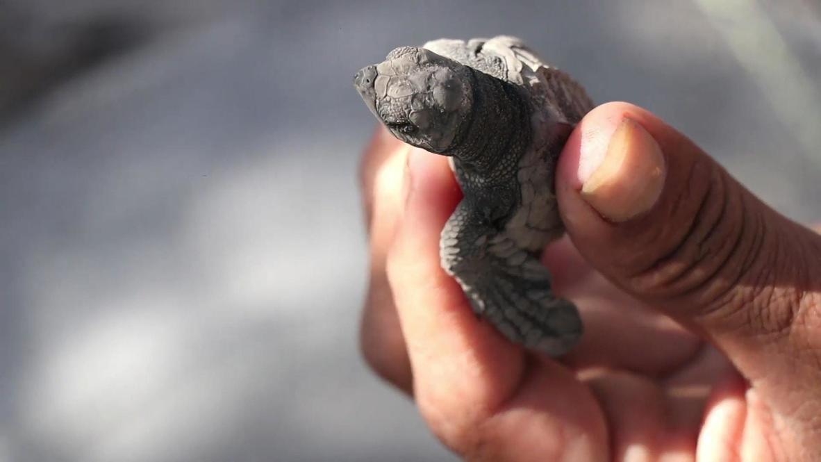 Сальвадор: Сотни детенышей черепах выпустили в океан в рамках проекта по сохранению природы
