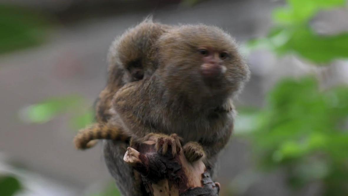 Reino Unido: Presentan a crías gemelas de mono tití nacidas en el zoo de Chester