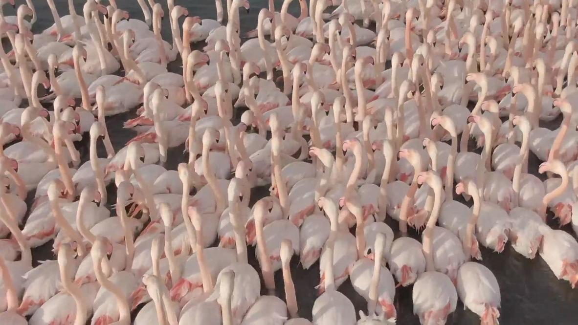 مشاهد خلابة لأسراب من طيور النحام الوردية في حضن بحيرة بإزمير التركية